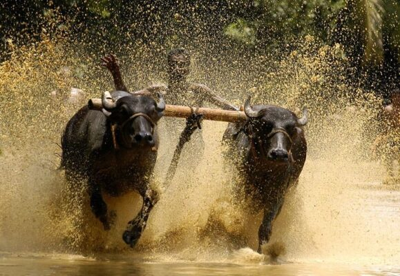 bull surfing in india